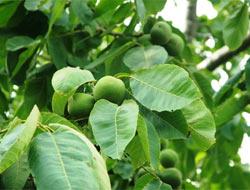 Ceviz ağacı aspirin üretiyor