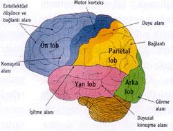 Beyin nasıl beslenir ?