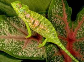 Bukalemunlar neden renk değiştirir?