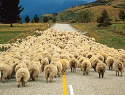 Hepimiz koyun gibiyiz