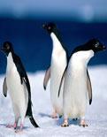 Uçan penguenler görüntülendi