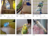 Muhabbet Kuşu Nasıl Eğitilir